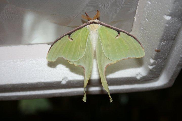 Moths From Qu 233 Bec Actia Luna