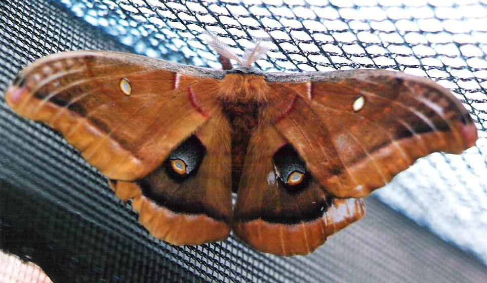 Moths From Qu U00e9bec