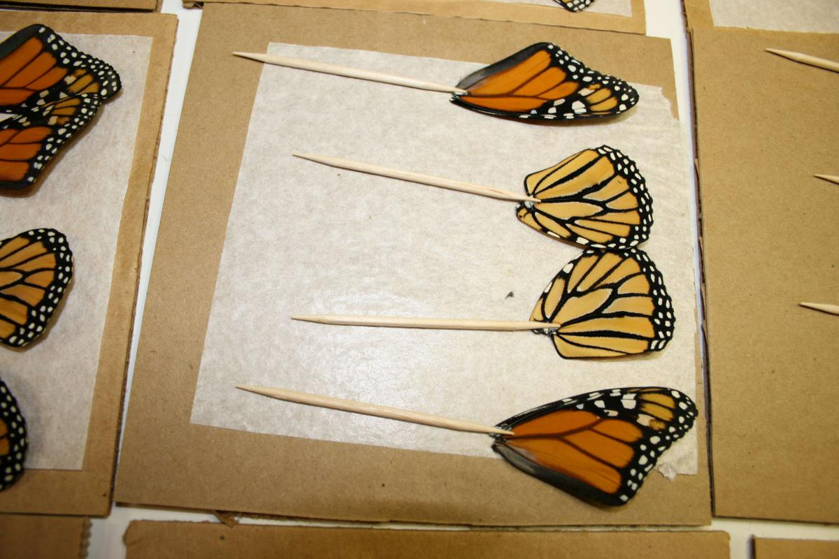 The making of jewelry made of real butterfly wings