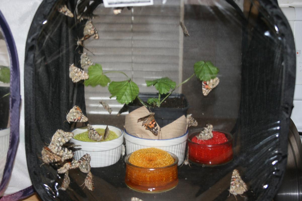 Nourrir accoupler et faire pondre les papillons adultes - Duree de vie papillon de nuit ...