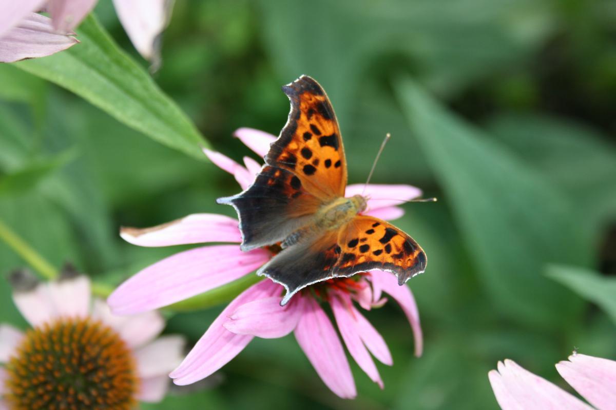 papillons diurnes du qu bec polygone. Black Bedroom Furniture Sets. Home Design Ideas
